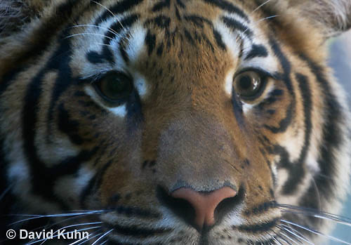 0328-1010  Malayan Tiger, Panthera tigris malayensis  © David Kuhn/Dwight Kuhn Photography.