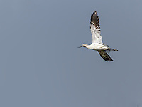 American Avocet in flight with wings up