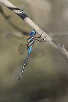 339360064 a wild male blue-eyed darner rhionaeschna multicolor perches on a dead stick  in yuma county arizona