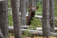 Elk in Yellowstone National Park Wyoming (Cervus canadensis)