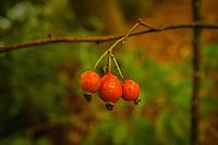 Berries of Three