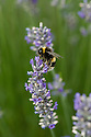 Bee on lavender bush, early August.