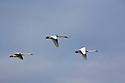 WA08143-00...WASHINGTON - Trumpeter swans in flight over Fir Island in the Skagit River Delta area wintering grounds.