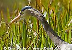 Great blue heron, Ardea herodias, at shoreline of Jewel Lake, Tilden Regional Park, California