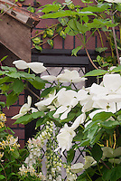 Flowering Dogwood Venus hybrid made from C. kousa × nuttalli x kousa, with perennial foxglove Digitalis and Lonicera Honeysuckle vine, in white and green color theme combination against house
