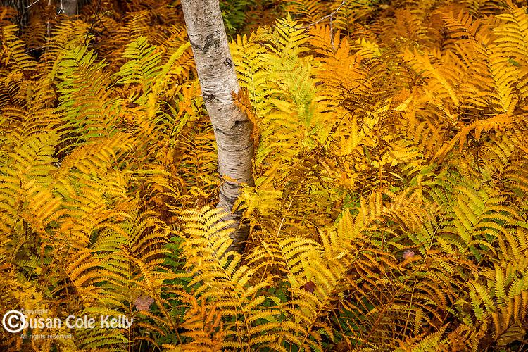 Fall foliage in Acadia National Park, Maine, USA