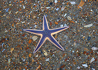 Starfish, Sea Star