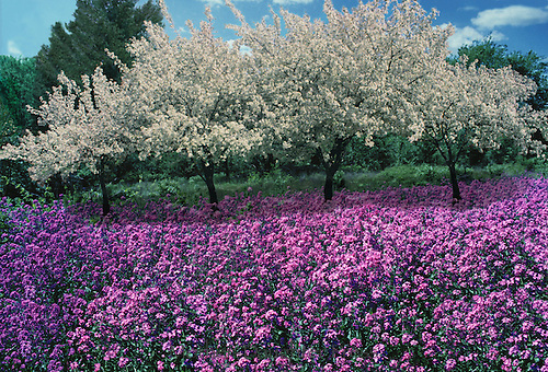 Bradford pear trees with blooming sweet william around it in orchard