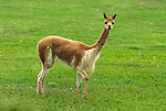 Vicuna, Vicugna vicugna, on grassland, Peru, captive, andes, . .South America....