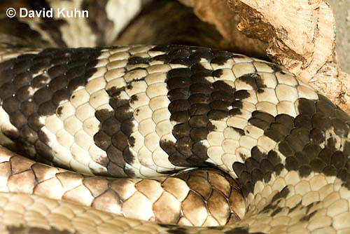 0504-1107  False Water Cobra (Rear-fanged), Detail of Scales, Brazil, Hydrodynastes gigas  © David Kuhn/Dwight Kuhn Photography