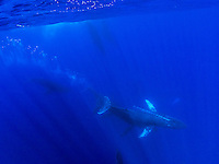 An underwater view of a pod of humpback whales as they swim off the coast of Maui.