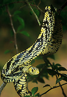 414000005 a wild tropical chicken snake spilotes pullatus mexicanus coils in a small vining tree on los ebanos ranch in tamaulipas state in northern mexico