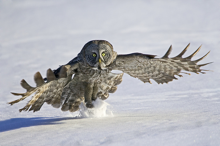 Great Grey Owl snatching a mouse from the snow