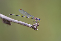 338450009 a wild male dusky dancer argia translata perches on a dead branch in patagonia lake state park santa cruz county arizona united states