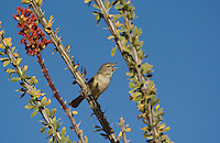 590460003 a wild bell's vireo vireo belli arizonae sings from an ocotillo plant in the madera canyon grasslands area east of green valley arizona