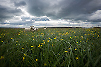 An icelandic sheep standic in a field of grass with three lambs.