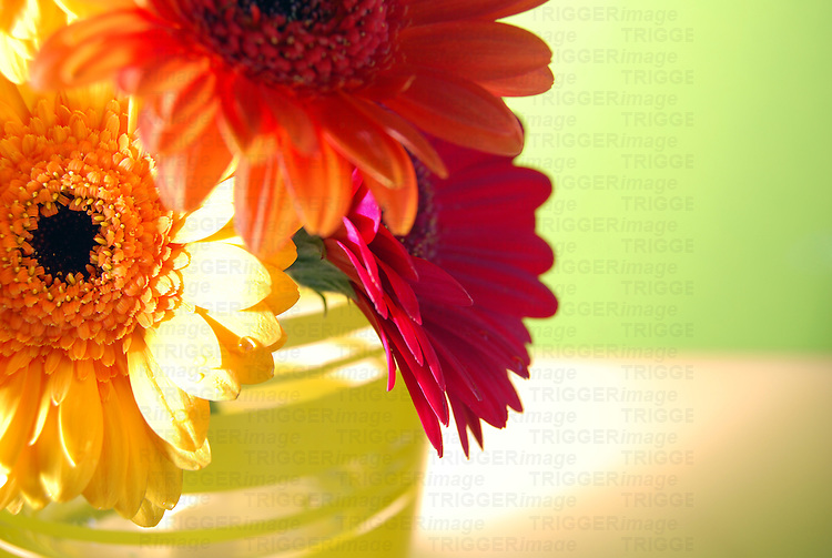 Close up of three gerbera daisies in vase against soft green background.