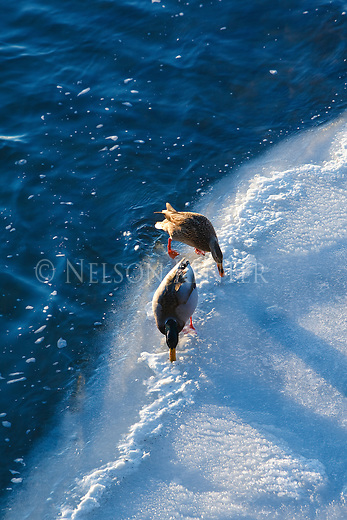 A mallard drake and hen on the ice in the Clark Fork River in Missoula, Montana