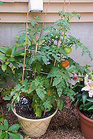 Container garden with tomato vegetables in pot, lilies lilium flowers next to house with automatic waterer irrigation tube, backyard gardening