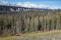 Spring landscape of moose feeding at Matanuska Glacier overlook with Chugach Mountains in the background.  Glacier View Area of Matanuska Valley  Spring Southcentral, Alaska<br /> <br /> Photo by Jeff Schultz (C) 2016  ALL RIGHTS RESERVED