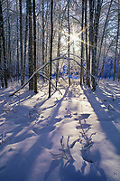 Winter sunrise through snow covered birch trees, Fairbanks, Alaska