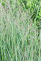 Panicum virgatum 'Heavy Metal', early August. Switch grass is a deciduous ornamental fountain-like grass with steely coloured blue-grey to blue-purple leaves, which form stiff, upright clumps that turn yellow in autumn. Small pink flowers appear in late summer and early autumn.