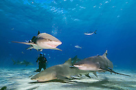 Lemon Sharks, Negaprion brevirostris, and scuba diver, West End, Grand Bahama, Atlantic Ocean