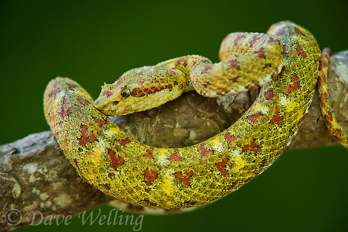 489180002 a captive yellowish green and red spotted eyelash viper bothriechis schlegelii sits coiled on a tree limb species is native to south and central america
