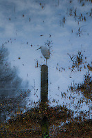 Snowy egret sit atop a post maybe reflecting on his reflection?