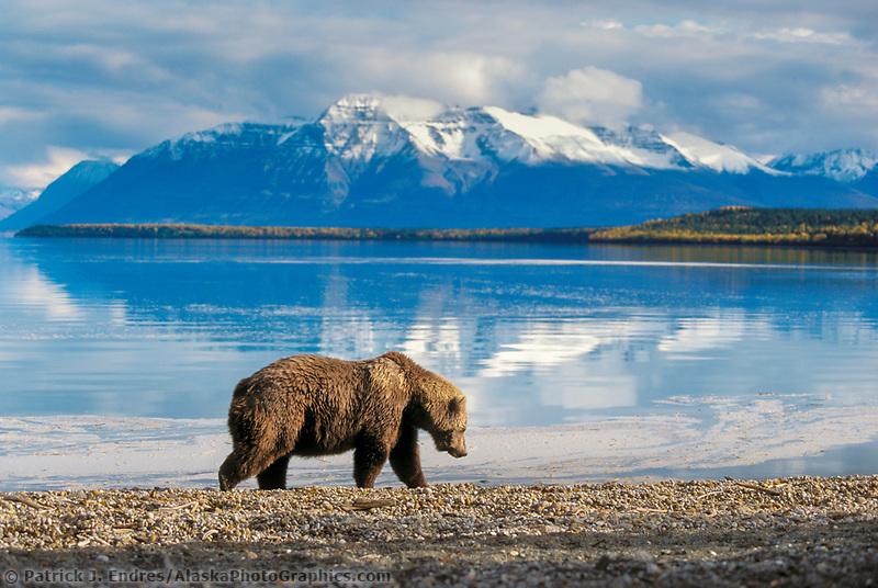 Coastal brown bear on Naknek beach, snow covered Mt. Katolinat, Katmai National Park, Alaska.