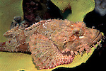 Tassled Scorpionfish, Scorpaenopsis oxycephala, Lankayan, Sabah, laying on coral .Malaysia....