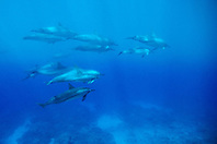 spinner dolphins, Stenella longirostris, swimming through a thermocline layer, off Kona Coast, Big Island, Hawaii, Pacific Ocean