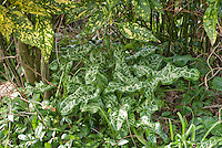 Dry shade plants: Arum italicum 'White Winter', Aucuba japonica 'Crotonifolia', Vinca