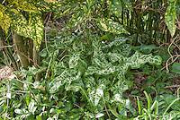 Dry shade plants: Arum italicum 'White Winter', Aucuba japonica 'Crotonifolia', Vinca