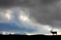 Bull caribou silhouetted on a mountain ridge in Denali National Park.