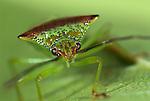 Hawthorn Shield Bug, Acanthosoma haemorrhoidale, on leaf, close up of face, portrait, macro, green