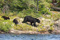 &quot;Black Bear and Cubs&quot;<br />