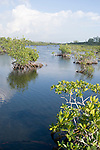Grand Bahama Island, The Bahamas; Red Mangrove (Rhizophora mangle) plants in Gold Rock Creek, which runs through the Lucayan National Park