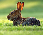 Rabbit on lawn of Newsday in Melville in August  2, 2005.  Photo by Jim Peppler. Copyright Jim Peppler/2005.
