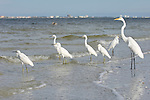 Sanibel Lighthouse Beach, Sanibel Island, Florida; six Snowy Egrets (Egretta thula)  and a Great egret (Ardea alba) stand in the shallow surf zone near the fishing pier, with Ft. Myers visible in the background, across the bay © Matthew Meier Photography, matthewmeierphoto.com All Rights Reserved