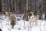 Grey wolves, Flathead Valley, Montana
