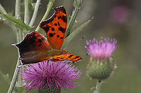 Eastern Comma Butterfly doing the thistle &quot;Two-Step&quot; :)<br /> Ragged wing edges distinguish this orange and brown butterfly. Undersides are brown with a white mark shaped like a comma.