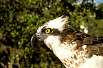 FL: Florida Everglades National Park, bird, osprey, closeup.Photo Copyright: Lee Foster, lee@fostertravel.com, www.fostertravel.com, (510) 549-2202.Image: flever259