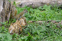 Red Squirrel standing on an old tree stump