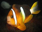 Kenting, Taiwan -- Clark's anemonefish (clownfish)
