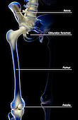 An anterolateral view (right side) of the bones of the pelvis and lower limbs. Royalty Free