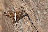 a wild white-striped longtail butterlfy chioides catillus at  the naba site in mission hidalgo county lower rio grande valley texas united states