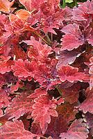 Coleus Juliet Quartermain (Solenostemon) annual foliage plant in leaf colors of reddish pinks. RHS Award of Garden Merit AGM