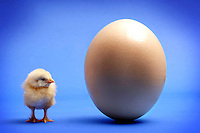 Cut down to size - a tiny yellow chick stands beside a large ostrich egg. Royalty Free