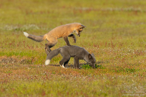 Red Fox Kits Playing, San Juan Island, Washington